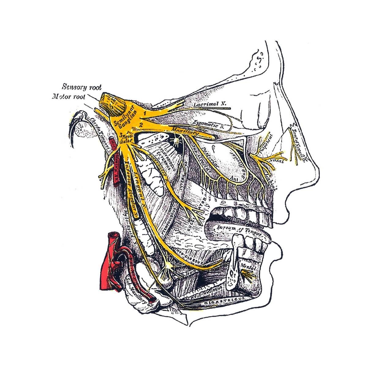 Тройничный нерв (показан жёлтым цветом)
