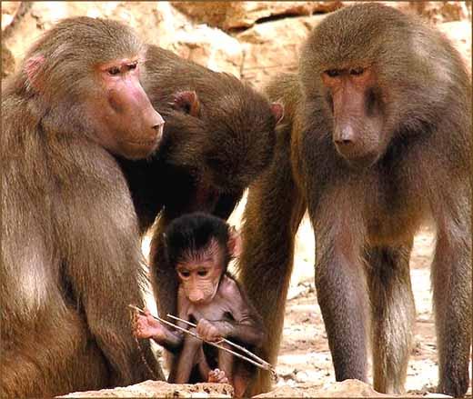Бабуин и интеллект