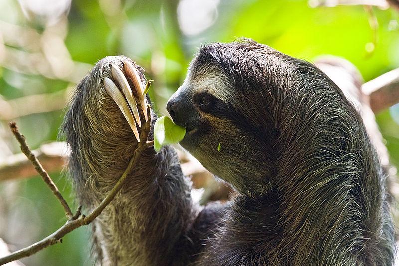 Ленивец то же имеет высокий интеллект