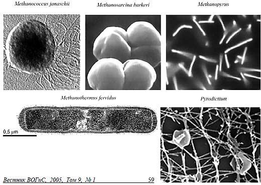 Археи - примитивные одноклеточные организмф