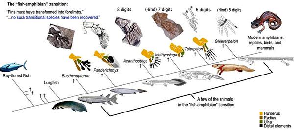 Эволюция рыб в амфибии