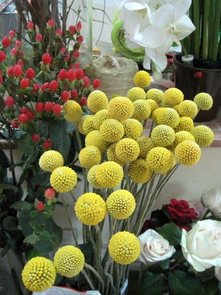 Словно маленькие солнышки зависли над вазой: это цветёт краспедия!
