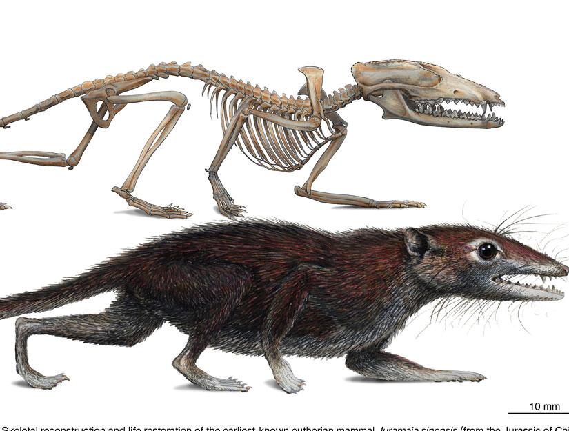 Предок млекопитающих